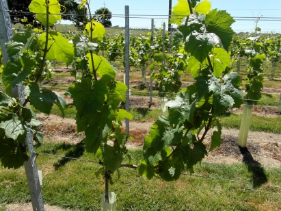 Close up of vines
