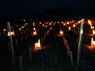 Chardonnay field ablaze