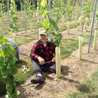 Tony primary shoot selecting in Pinot Noir field