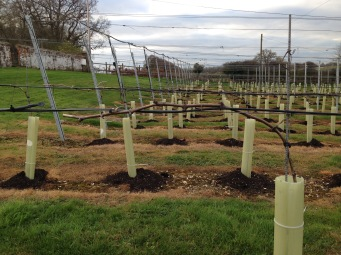 3-pinot-canes-laid-down-copy